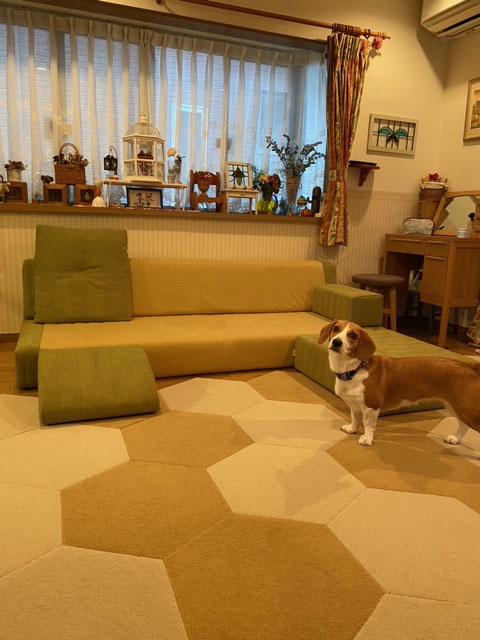 愛犬のケガ・ヘルニア予防に、ロータイプのソファ。【国産ローソファ・フロアソファ専門店HAREM】